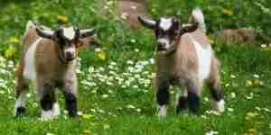 What is an Oat Groat? - Goats