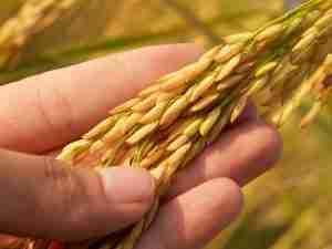 What is an Oat Groat? - Whole Grain Oats